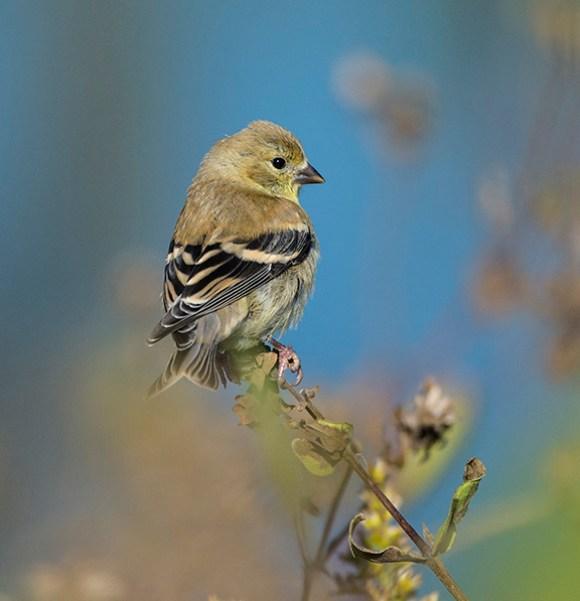 Resident Goldfinch stock up on the abundant seeds in the prairie. ©Carol Freeman.