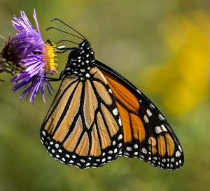 PHOTO: Monarch butterfly.