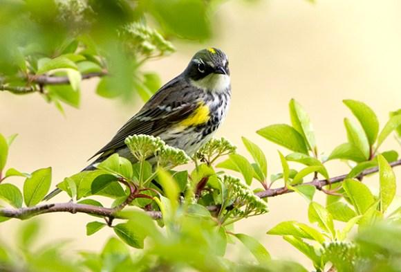 PHOTO: Yellow-rumped warbler.