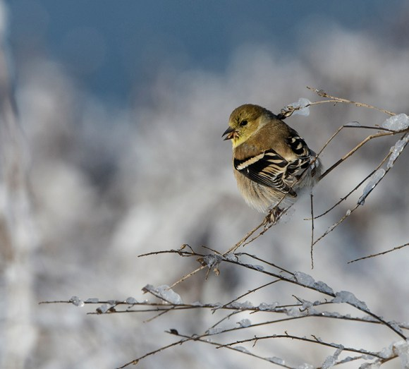 Goldfinch in toned-down winter plumage, enjoying seeds on Dixon Prairie.