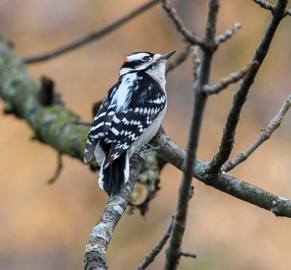 Tap, tap, tap, I heard the Downy woodpecker before I saw him.