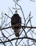 What a surprise to find this adult bald eagle sitting in a tree just next to the Plant Science building!