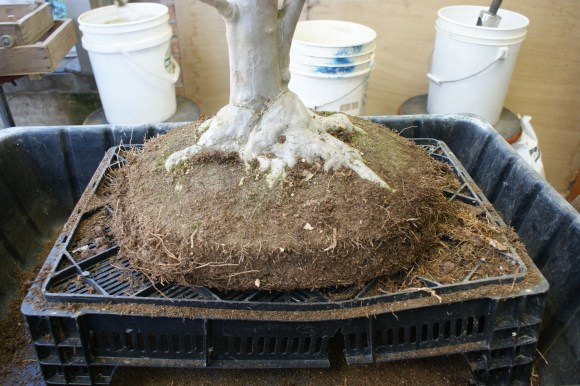 PHOTO: The bonsai, carefully removed from its pot.