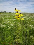 Coneflowers on the prairie.