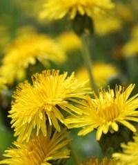PHOTO: Dandelions.