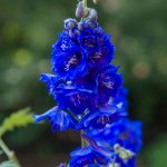 Delphinium elatum 'Royal Aspirations'