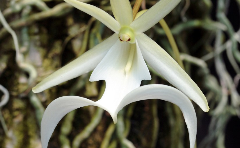 Ghost orchid (Dendrophylax lindenii)