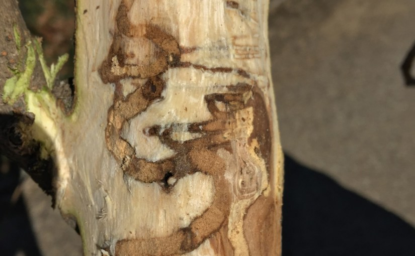 PHOTO: The gallery left under the fringetree's bark by emerald ash borer activity.