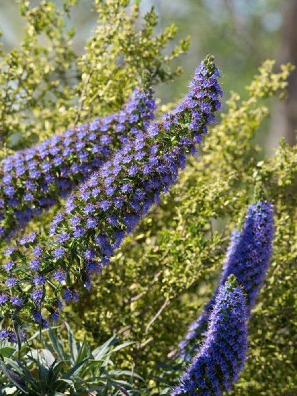 Echium fastuosum (Pride of Madeira)