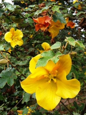 PHOTO: California flannelbush in bloom.