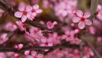 Flowering plum (Prunus cerasifera)