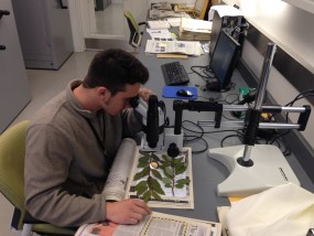 PHOTO: Frank Balestri examines a Salix herbarium voucher.