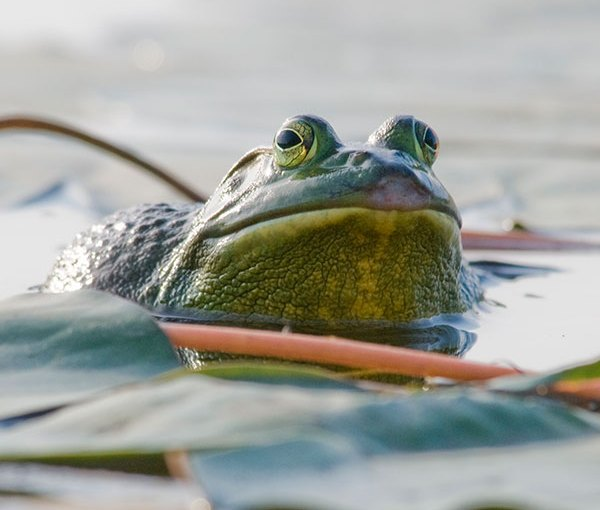 PHOTO: A frog surveys his position from atop a lily pad in the North Lake.