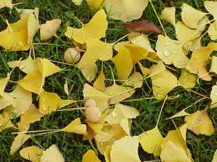 PHOTO: Gingko fruit and leaves on the grass underneath a tree.