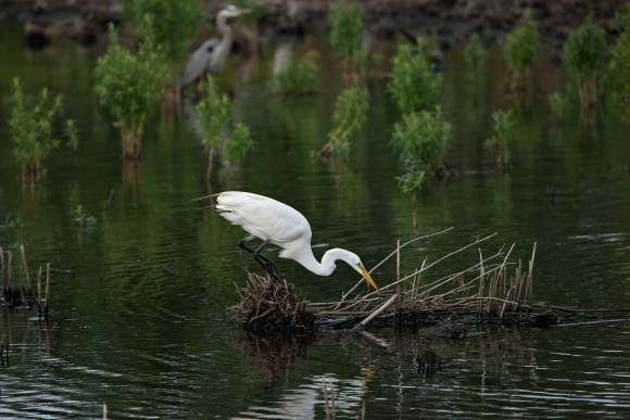 PHOTO: Great egret (Ardea alba).