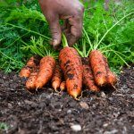 PHOTO: Picking carrots.