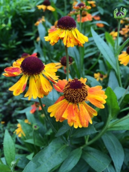 PHOTO: Helenium autumnale 'Short and Sassy'