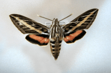 PHOTO: Pinned specimen of Hyles lineata.
