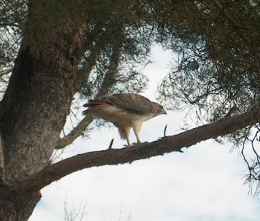 PHOTO: A large red-tailed hawk is perched on a pine tree branch scanning the landscape for prey.