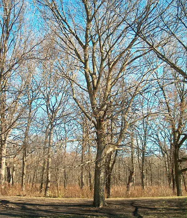 Photo: A Hackberry tree the grows along the east side of Parking Lot 1 stands next to several others of its kind.
