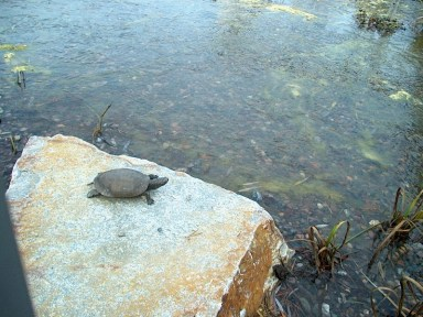 PHOTO: This bronze model of a painted turtle on a rock can be seen a Kleinman Family Cove yearround.