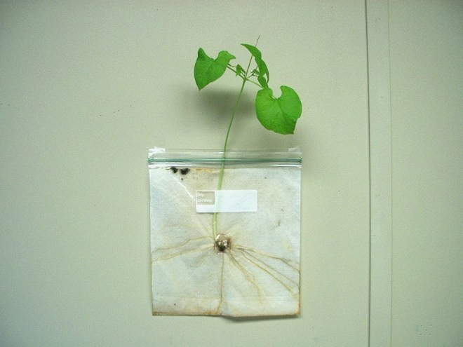 PHOTO: a bean that was sprouted in a plastic bag and grew for three months, with roots radiating from the center, a long stem, and eight green leaves sticking out of the top.