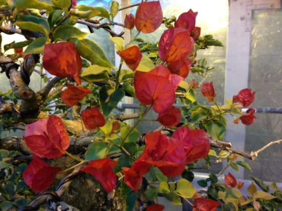 PHOTO: Bonsai in bloom.
