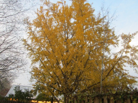 PHOTO: Ginkgo tree in fall color.