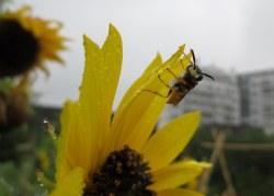 PHOTO: A wasp drinks water from a flower after rain.