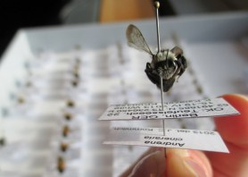 PHOTO: Closeup of a pinned bee collected from a green roof in Berlin.