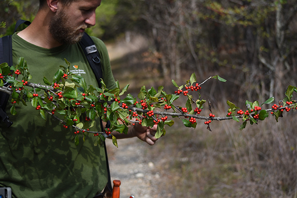 Josh Schultes examines some holly (Ilex decidua) for collection.