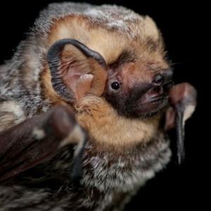 PHOTO: Lasiurus cinereus (hoary bat).