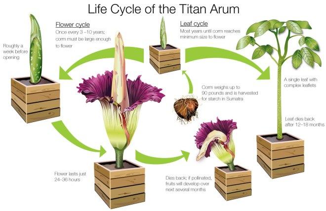ILLUSTRATION: Life cycle of the titan arum (Amorphophallus titanum).