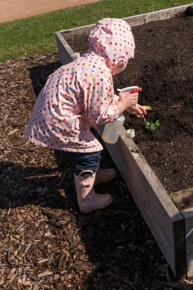 PHOTO: Watering seedlings in the raised beds.