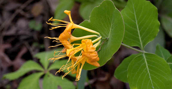Lonicera flava honeysuckle is a fragrant and hardy variety.
