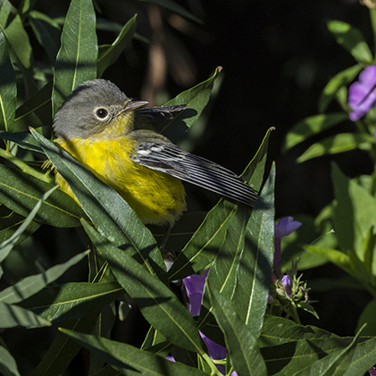 PHOTO: Magnolia warbler.