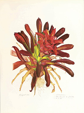 ILLUSTRATION: A Brazillian bromeliad by Margaret Mee
