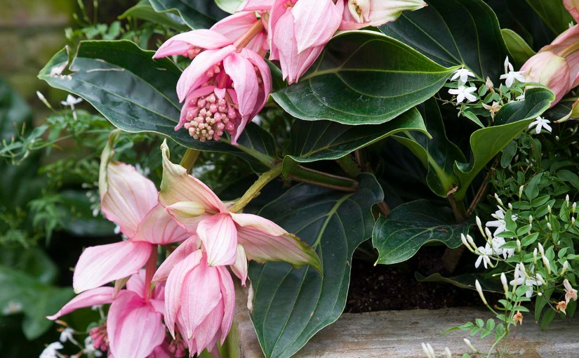 PHOTO: Medinilla magnifica.