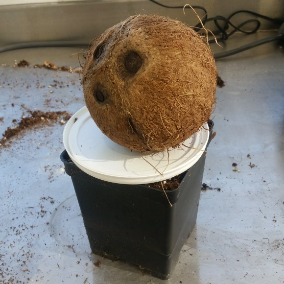 a 6 inch square pot is topped with a round plastic lid and a coconut.