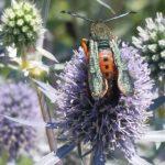 Moth - squash vine borer 3