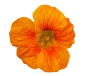 PHOTO: Nasturtium blossom