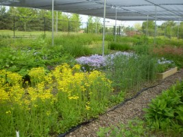 Native woodland plants are grown for seed in the Garden nursery.