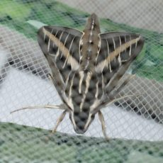PHOTO: A newly emerged Hyles lineata hawkmoth.