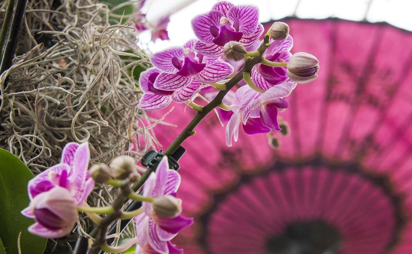 Behind the Scenes at Asia in Bloom: The Orchid Show