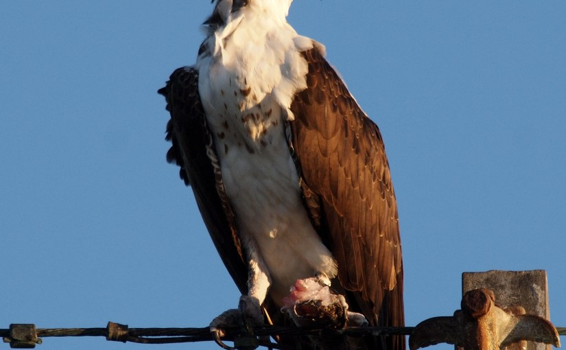 PHOTO: Osprey.