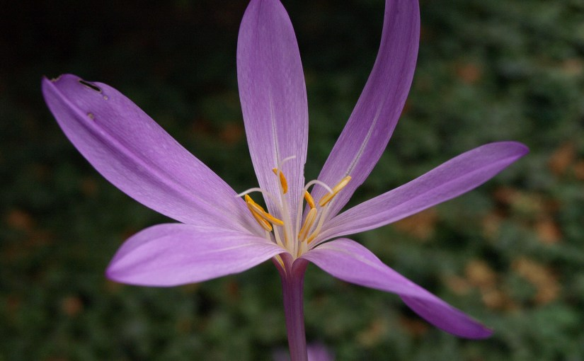 PHOTO: autumn crocus