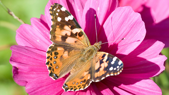 Painted Lady (Vanesa cardui)