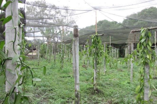 PHOTO: A view of the Pantapec vanilla farm.