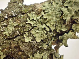 PHOTO: Parmelia sulcata, a common lichen, is used to help disguise the hummingbird's nest.