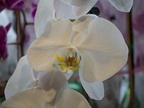 PHOTO: Phalaenopsis Sogo Yukidan 'V3'
